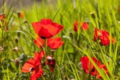 Color scarlatto dei papaveri sull'erba verde Fotografia Stock