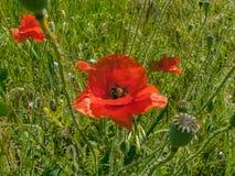 Color scarlatto dei papaveri wildflowers Immagine Stock