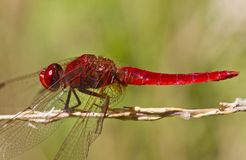 Color scarlatto del Darter (erythraea di Crocothemis) immagine stock