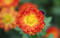 Color scarlatto del fiore con gli stami gialli immagini stock
