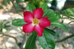Color scarlatto del fiore del colpo tropicale di macro fotografia stock