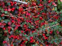 Color scarlatto del firethorn della pianta del cespuglio Piccoli piante, rami e foglie arancioni dell'arbusto della frutta fotografia stock libera da diritti
