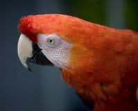 Color scarlatto del fronte del Macaw Immagini Stock