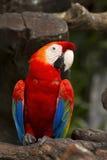 Color scarlatto del Macaw Fotografie Stock