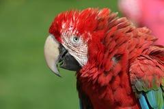 Color scarlatto del macaw Immagine Stock Libera da Diritti