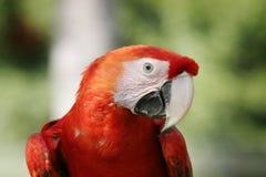 Color scarlatto del Macaw Immagine Stock