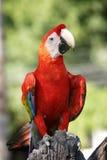 Color scarlatto del Macaw Fotografia Stock