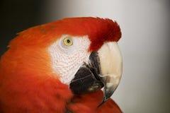 Color scarlatto del Macaw Immagini Stock