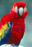 Color scarlatto del Macaw Immagini Stock Libere da Diritti