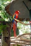 Color scarlatto del Macaw appollaiato sul membro fotografia stock