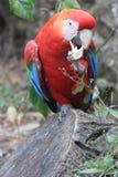 Color scarlatto del macaw (ara Macao) Fotografia Stock