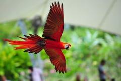 Color scarlatto del macaw durante il volo Fotografie Stock
