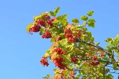 Color scarlatto del mazzo maturo di viburno su un fondo di cielo blu Fotografie Stock Libere da Diritti