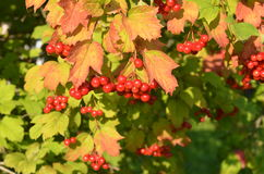 Color scarlatto del mazzo maturo di viburno su un fondo di verde Fotografia Stock