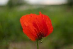 Color scarlatto del papavero Fotografie Stock Libere da Diritti