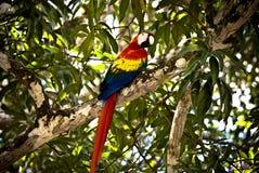 Color scarlatto del pappagallo del Macaw Fotografie Stock