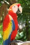 Color scarlatto del pappagallo del Macaw Fotografia Stock