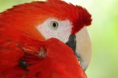 Color scarlatto del pappagallo di Amazon, pappagallo dell'ara, uccello esotico Immagine Stock