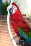 Color scarlatto dell'animale domestico del macaw Fotografia Stock Libera da Diritti