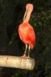 Color scarlatto dell'Ibis Immagini Stock