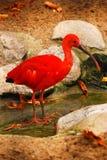 Color scarlatto dell'Ibis Immagini Stock Libere da Diritti