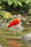 Color scarlatto dell'Ibis Fotografia Stock