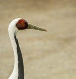 Color scarlatto dell'Ibis Fotografia Stock Libera da Diritti