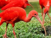 color scarlatto dell'Ibis Immagine Stock