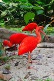 Color scarlatto dell'ibis che cerca alimento Immagini Stock Libere da Diritti
