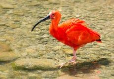 Color scarlatto dell'ibis che guada attraverso l'acqua Fotografie Stock