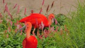 Color scarlatto dell'ibis del ruber di Eudocimus video d archivio