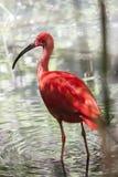 Color scarlatto dell'ibis del ruber di Eudocimus Fotografia Stock
