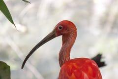 Color scarlatto dell'ibis del ruber di Eudocimus Immagine Stock Libera da Diritti