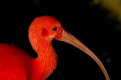 Color scarlatto dell'ibis di Eudocimus di fine del ruber su Immagini Stock