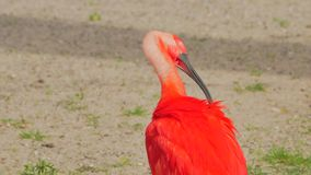 Color scarlatto dell'Ibis (Eudocimus Ruber) stock footage