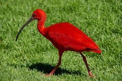 Color scarlatto dell'Ibis, Sudafrica Fotografie Stock Libere da Diritti