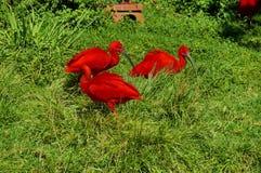 Color scarlatto dell'Ibis - tre uccelli, Sudafrica Fotografia Stock