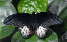 Color scarlatto della farfalla di Swallowtail Fotografia Stock