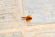 Color scarlatto della libellula del percher Fotografia Stock Libera da Diritti