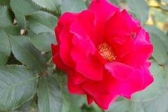 Color scarlatto della Rosa L'insetto sul petalo Fotografia Stock Libera da Diritti