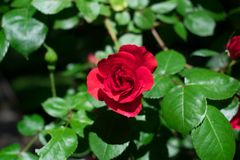 Color scarlatto della rosa rossa su una parte anteriore dei inf di giorno soleggiato delle foglie verdi immagini stock libere da diritti