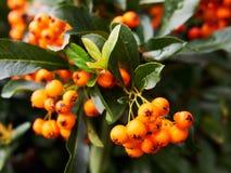Color scarlatto delle bacche e foglie del firethorn fotografia stock libera da diritti