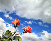 Color scarlatto delle rose due Fotografie Stock Libere da Diritti