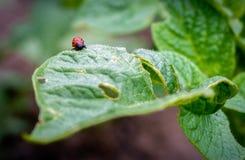 Color scarlatto dello scarabeo del giglio Fotografia Stock