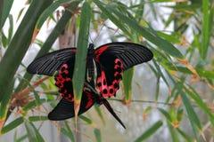 Color scarlatto di accoppiamento mormonico delle farfalle accoccolato in pianta Fotografie Stock