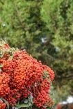Color scarlatto di Firethorn, Pyracantha ornamentale Coccinea del cespuglio fotografie stock