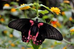 Color scarlatto femminile della farfalla del Mormone immagini stock libere da diritti