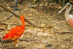 Color scarlatto luminoso dell'ibis ed altri uccelli che camminano nel parco Immagini Stock Libere da Diritti