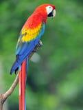 Color scarlatto magnifico del macaw in albero, Costa Rica Fotografia Stock