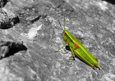 Green Grasshopper on black and white rock royalty free stock photo